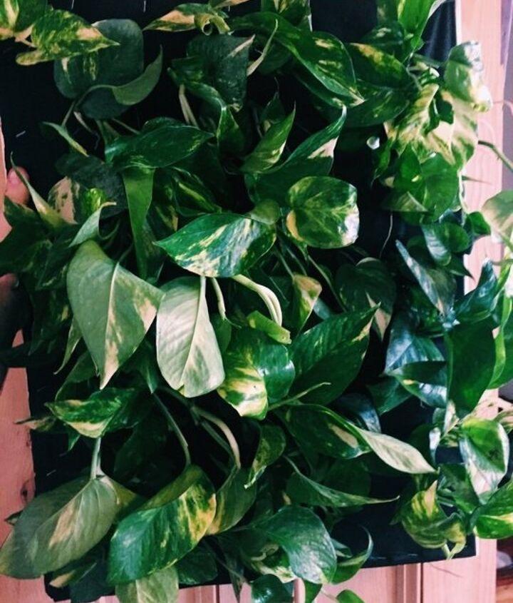 diy hanging shower planter, bathroom ideas, container gardening, gardening