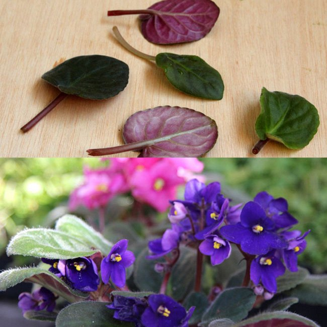 2 ways to root african violets from leaf cuttings, container gardening, flowers, gardening