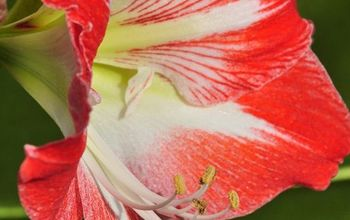 how to get an amaryllis to re bloom, flowers, gardening