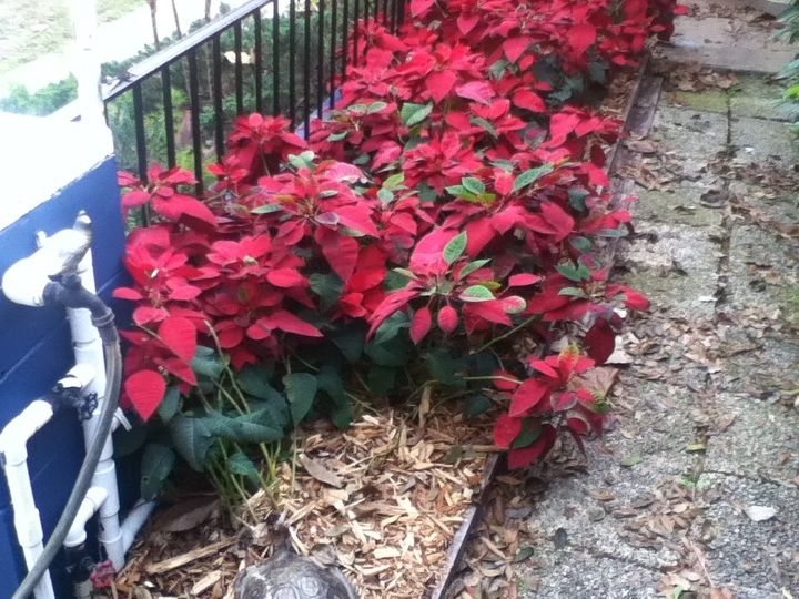 q poinsettia hedge in maitland florida, container gardening, flowers, gardening, plant care, Poinsettia Hedge in Central Florida