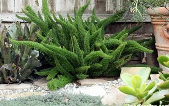 An Easy Care & Fun Fern: Myers or Foxtail Fern