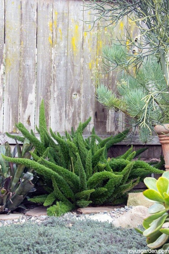 an easy care fun fern myers or foxtail fern, gardening, how to, landscape