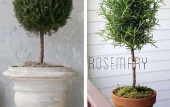 Easy DIY Living Rosemary and Boxwood Topiary on a Budget