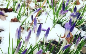 are my bulbs ok in the snow, flowers, gardening, Early Crocuses out in the snow