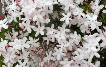 How To Care For The Sweet Pink Jasmine Everybody Loves