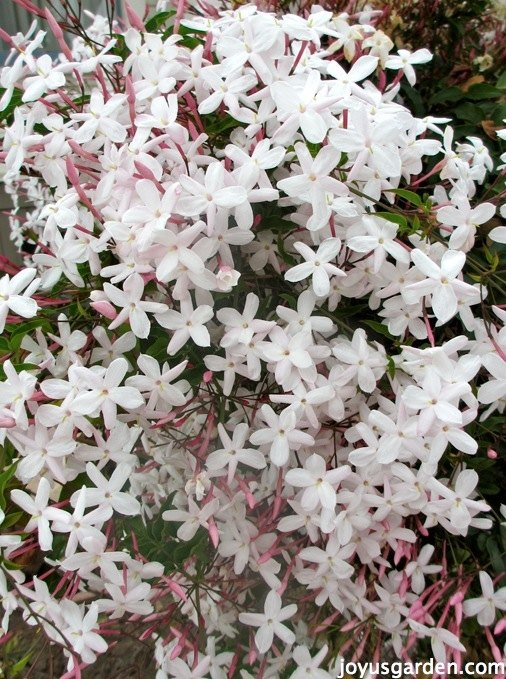 how to care for the sweet pink jasmine everybody loves, flowers, gardening, how to, lawn care