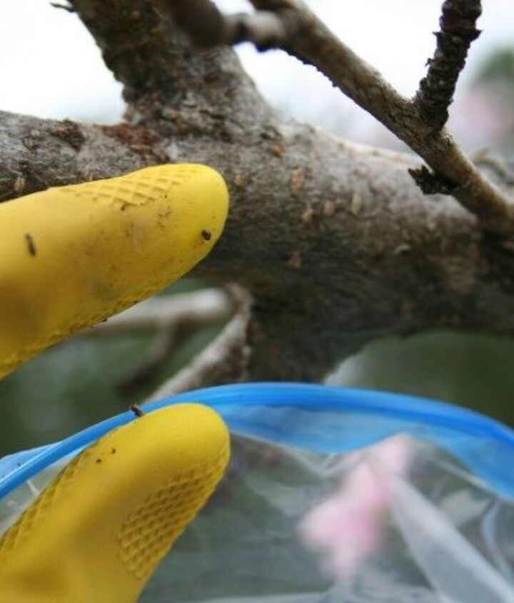 an organic way to remove tent caterpillars from fruit trees, gardening, how to, pest control