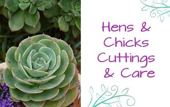 hens and chicks the succulent that keeps on giving, flowers, gardening, succulents