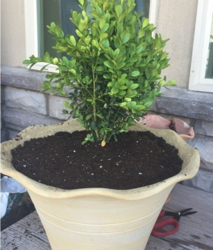 s 20 low maintenance container gardens for beginners, container gardening, gardening, Turn boxwood sprigs into a chic topiary