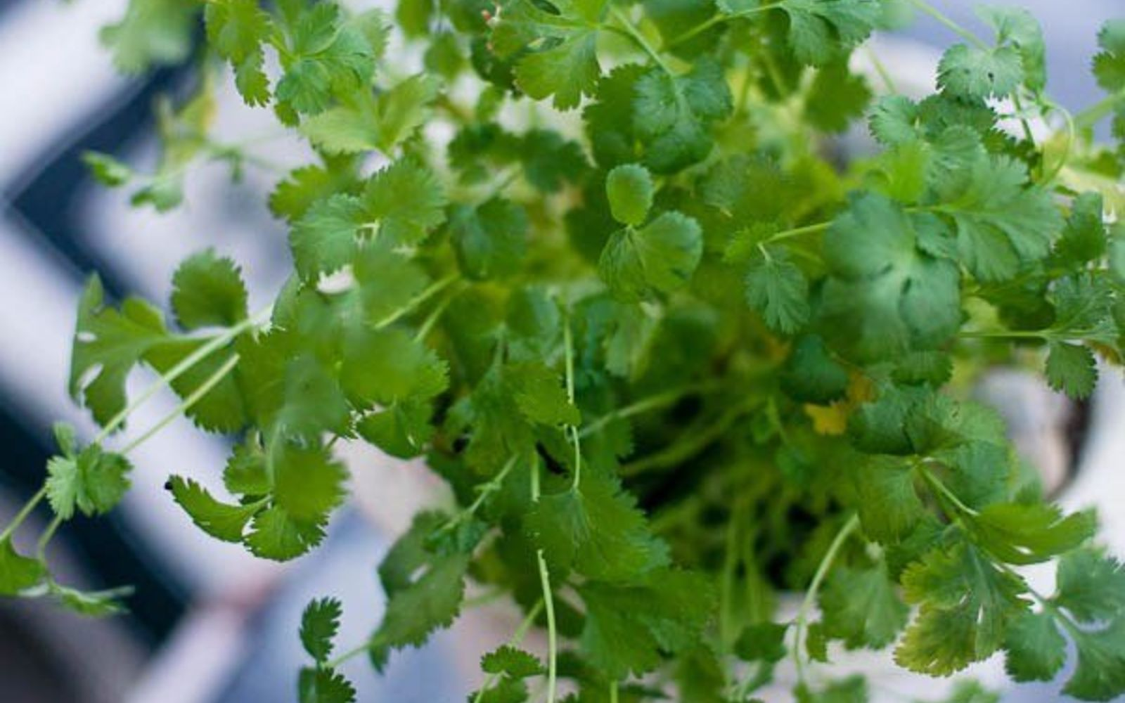 just grow the herb you love best