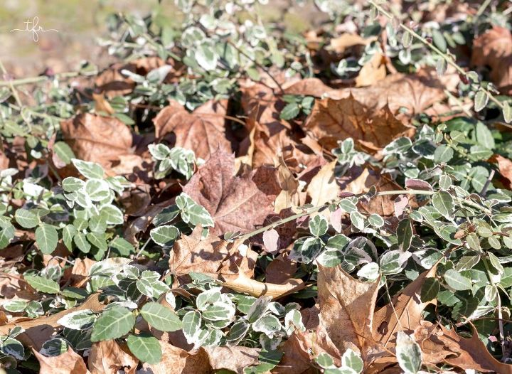 My euonymus shrub before leaf cleanup