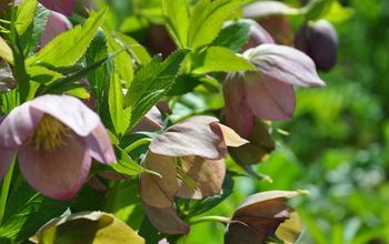 Part Shade: Hellebore- A Great Early Bloomer