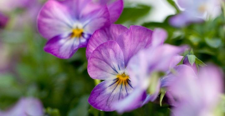 these 5 delicious edible flowers add beautiful flavor to your garden, flowers, gardening