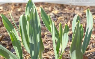 transitioning the garden from winter to spring, gardening, how to, Elephant Garlic March 22