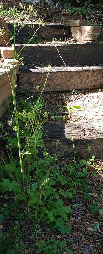 q are these plants dandelions after the flowers have gone , gardening, plant id