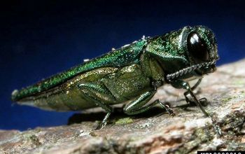diy emerald ash borer treatment, gardening, outdoor living, pest control, Photo via emeraldashborer info