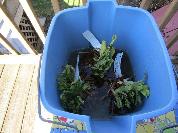planting bare root day lilies, flowers, gardening, how to