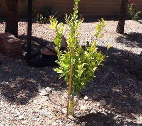 Ordinaire Q Fruits Trees In Las Vegas Nv Help Not Bearing Fruit, Gardening, Plant Care