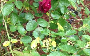 q yellow leaves on my roses, flowers, gardening, plant care, plant id, Leaves starting to fall off