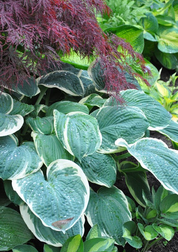 s 11 stunning flowers that thrive in shade, gardening, Plant a lush Hosta garden