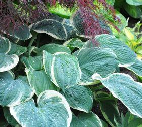 plant a lush hosta garden