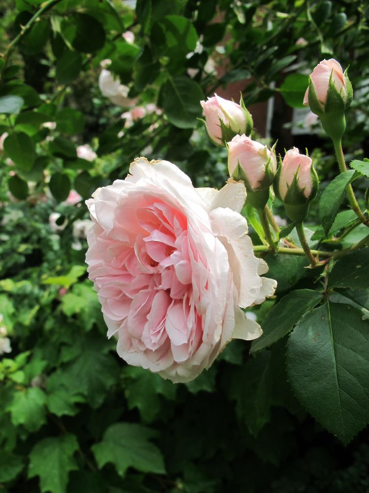 Roses In Garden: 11 Stunning Flowers That Thrive In Shade