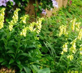 brighten shady spots with yellow foxgloves
