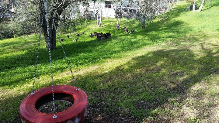 Daily turkey gang in background