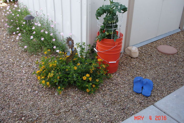 Tomato plant growing in SIP, self watering buckets from Home Depot.