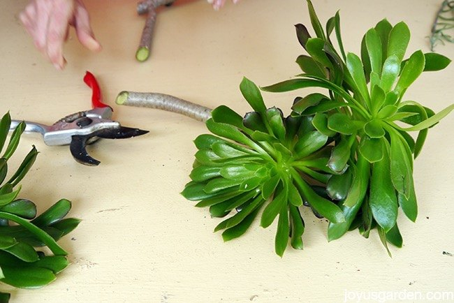 how i take cuttings of my aeonium arboreum, flowers, gardening, how to