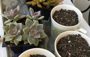 Planting Succulents in Vintage Tea Cups