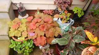 , Here are just a few of the Heucheras I have Some are in pots and some in the ground I believe the large one in the center is Southern Comfort
