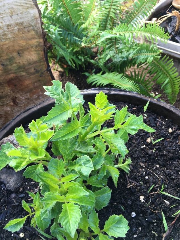 q what is this plant , gardening, I am not sure what this is can you help please