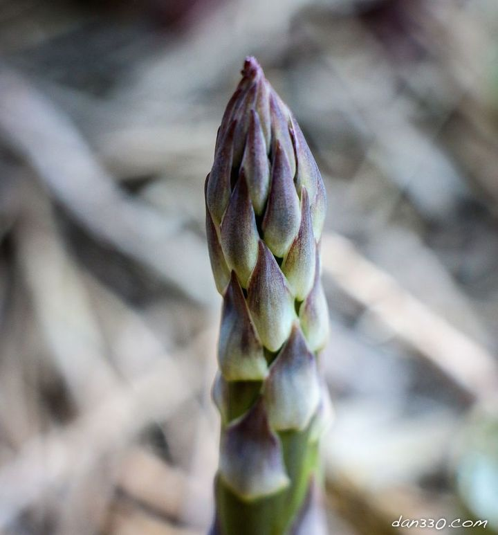 Colorful new shoots of asparagus