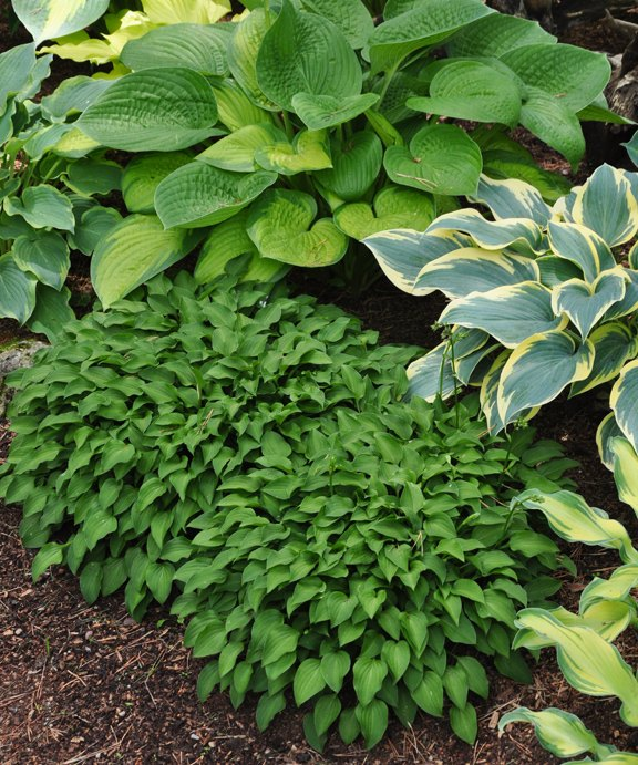 collectable hostas, flowers, gardening, how to