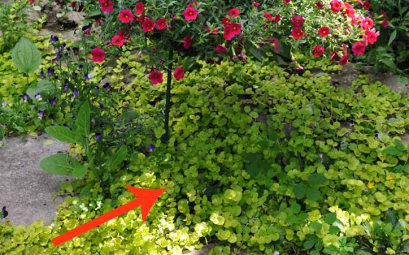 s 11 beatiful plants that are secretly killing your garden, gardening, Creeping Jenny