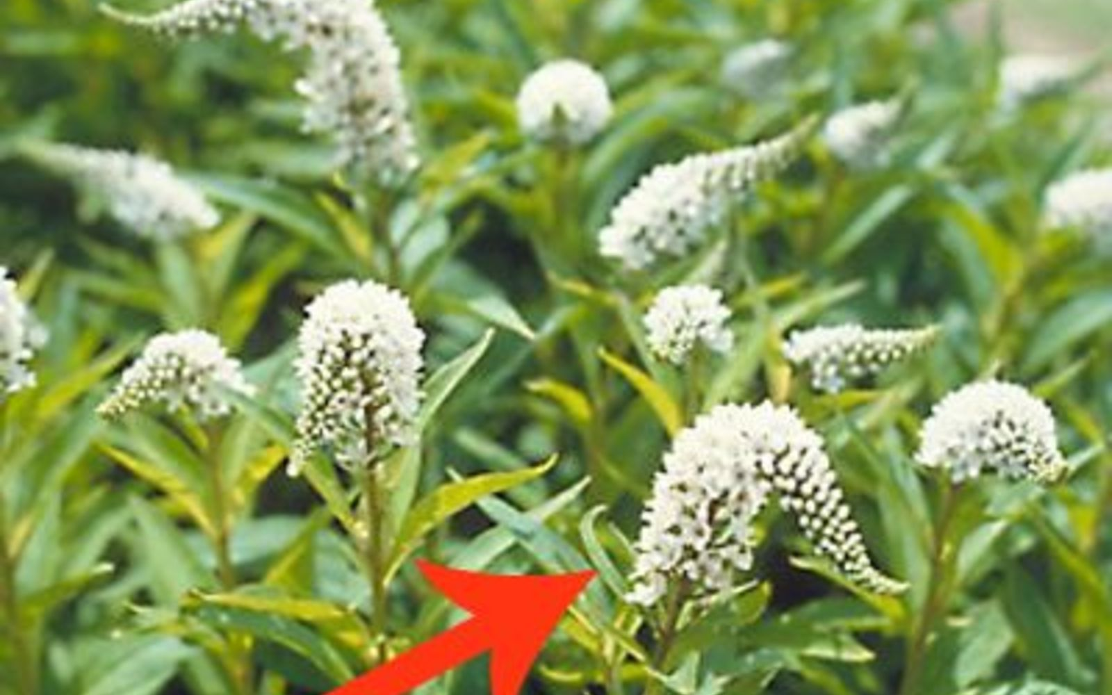 s 11 beatiful plants that are secretly killing your garden, gardening, Gooseneck Loosestrife