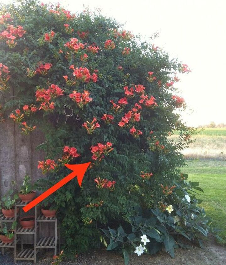 s 11 beatiful plants that are secretly killing your garden, gardening, Trumpet Vine