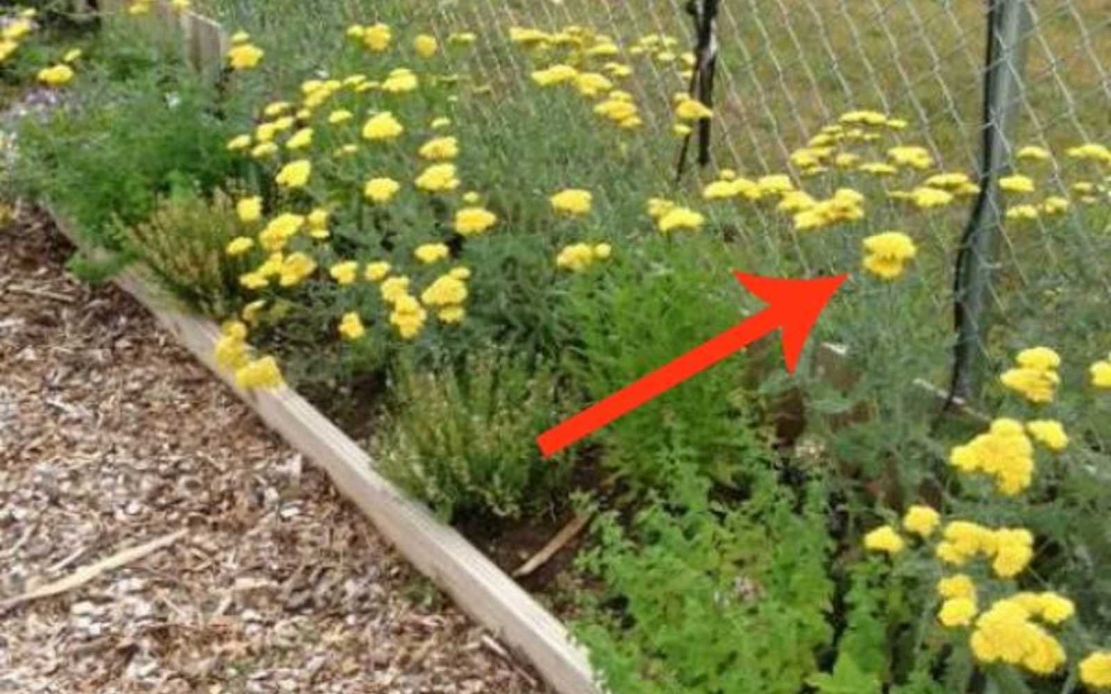 s 11 beatiful plants that are secretly killing your garden, gardening, Yarrow