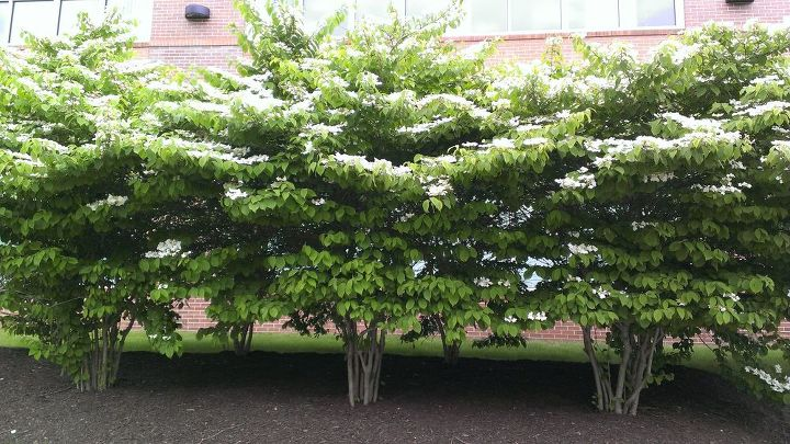 q does anyone know what this tree is , gardening, plant id