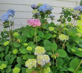 Morning Tour Of The Hydrangea Gardens, Flowers, Gardening, Hydrangea