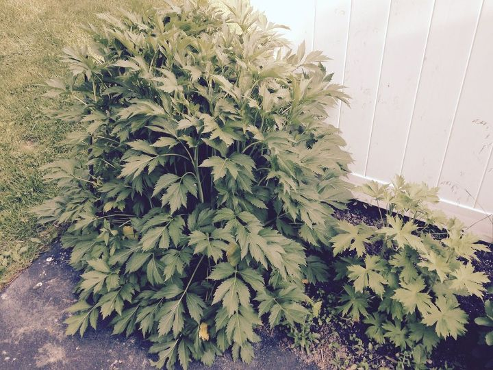 q help identifying this plant , gardening, plant id