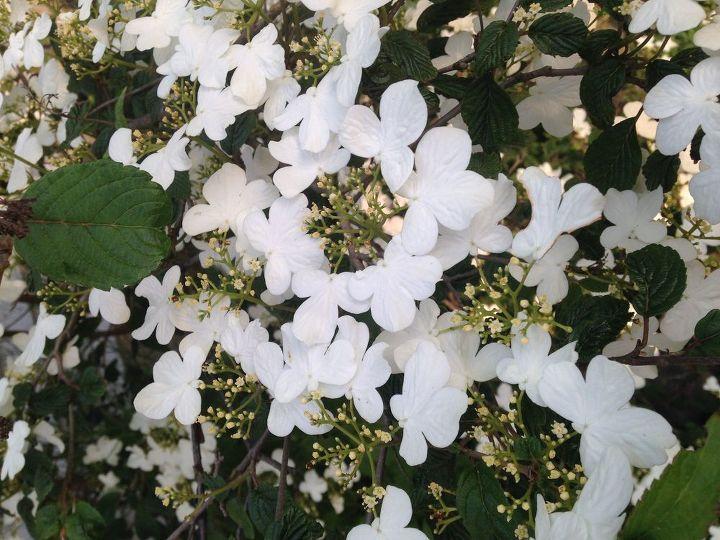 q help identifying this flowering tree , gardening, plant id