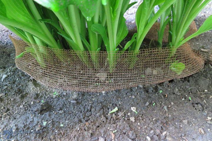 holey hosta batman how we saved our hostas from slugs , gardening, pest control