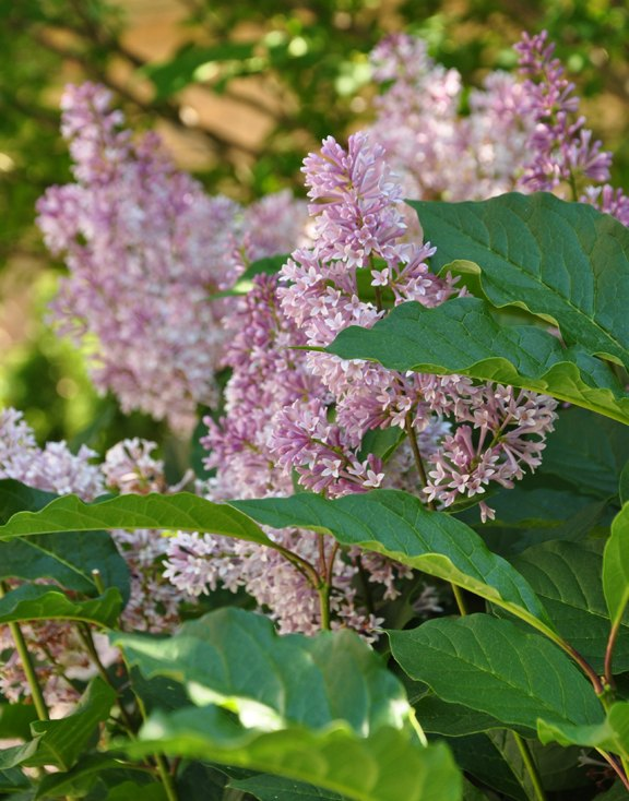 lilacs planting care pruning, flowers, gardening