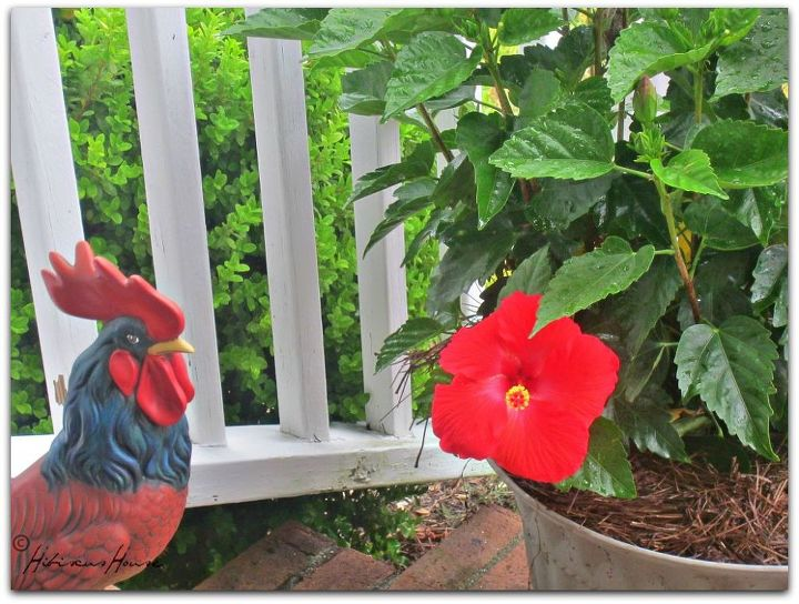 hibiscus for hibiscus house, flowers, gardening, hibiscus, outdoor living, porches