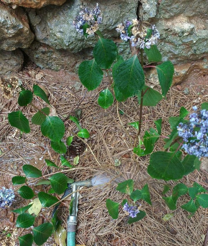 q what s wrong with my hydrangea , flowers, gardening, hydrangea, plant care