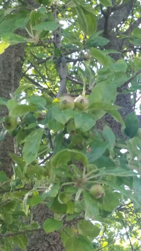 q what kind of nut fruit tree is this , gardening, plant id