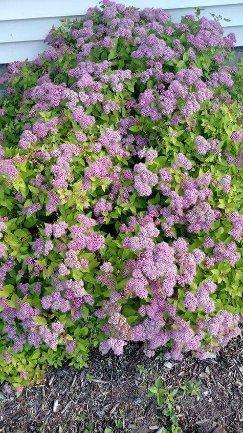 q could someone please help identify this shrub , gardening, plant id