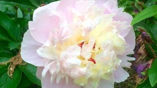 q peony problems, gardening, pest control, My only beauty